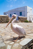 The famous Pelican of Mykonos island Stock Photos