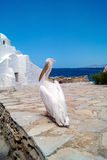 The famous Pelican of Mykonos island Royalty Free Stock Image