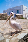 The famous Pelican of Mykonos island, Greece Stock Photography