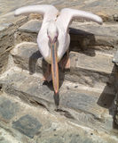 The famous Pelican of Mykonos island, Greece Royalty Free Stock Image