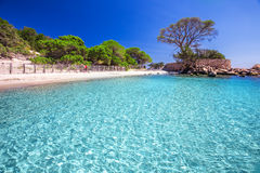 Famous pine tree on Palombaggia beach, Corsica, France stock images