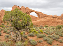 Famous Rock Arch in Utah with a pine tree Stock Photography
