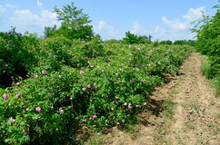The famous rose fields in the Thracian Valley near Kazanlak. Bulgaria Royalty Free Stock Photo