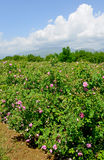 The famous rose fields in the Thracian Valley near Kazanlak Royalty Free Stock Image