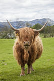 The famous Scottish Cattle Royalty Free Stock Photo
