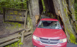 The famous Shrine Drive-through tree at Redwoods National Park - ARCATA - CALIFORNIA - APRIL 17, 2017 Stock Photography