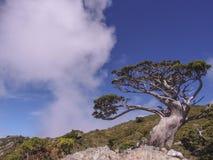 A famous single-seed juniper Juniperus squamata Lamb stands at the Jiaming Lake Trail, Yushan National Park, Taitung, Taiwan.  Stock Images