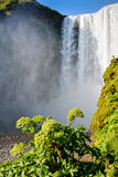 Famous Skogafoss waterfall in Iceland with Angelica plant Stock Image