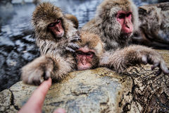 The Famous Snow monkey park in Japan Royalty Free Stock Images