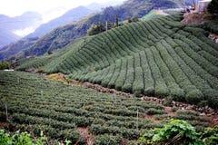 Famous taiwan tea farm Royalty Free Stock Images