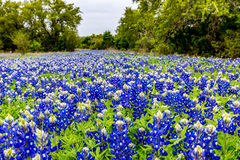 Famous Texas Bluebonnet Lupinus texensis Wildflowers. Royalty Free Stock Photography