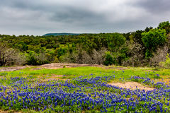 Famous Texas Bluebonnet (Lupinus texensis) Wildflowers. Beautiful Field Blanketed with the Famous Texas Bluebonnet (Lupinus texensis) Wildflowers stock photo