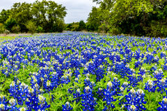 Famous Texas Bluebonnet Lupinus texensis Wildflowers. Beautiful Old Driveway Blanketed with the Famous Texas Bluebonnet Lupinus texensis Wildflowers stock image