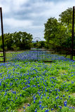 Famous Texas Bluebonnet Lupinus texensis Wildflowers. Beautiful Old Driveway Blanketed with the Famous Texas Bluebonnet Lupinus texensis Wildflowers with Old stock photo