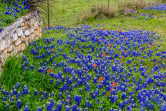 Famous Texas Bluebonnet (Lupinus texensis) Wildflowers. Beautiful Roadside Blanketed with the Famous Texas Bluebonnet (Lupinus texensis) Wildflowers stock photography