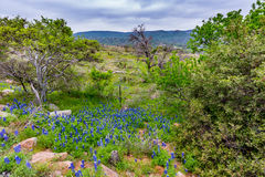 Famous Texas Bluebonnet (Lupinus texensis) Wildflowers. Beautiful Texas Roadside Blanketed with the Famous Texas Bluebonnet (Lupinus texensis) Wildflowers stock images