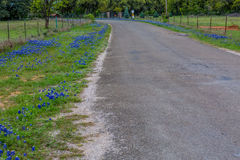 Famous Texas Bluebonnet (Lupinus texensis) Wildflowers. Beautiful Roadside Covered with the Famous Texas Bluebonnet (Lupinus texensis) Wildflowers royalty free stock photo