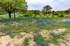 Famous Texas Bluebonnet (Lupinus texensis) Wildflowers. Fence Line on a Beautiful Field Blanketed with the Famous Texas Bluebonnet Lupinus texensis Wildflowers stock images