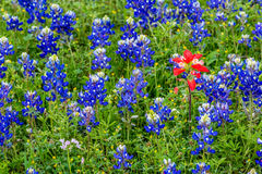 Famous Texas Bluebonnet (Lupinus texensis) Wildflowers. A Lone Indian Paintbrush in a Field Full of the Famous Texas Bluebonnet (Lupinus texensis) Wildflowers stock photography