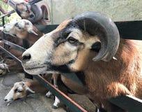 Sheep, Ovis ammon aries. stock photos