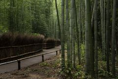 Famous bamboo forest at Arashiyama , Kyoto. Famous travel location in Kyoto. Silent Bamboo forest is the zen bamboo garden at Arashiyama region Stock Photography