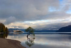 Famous Tree Growing in Lake Wanaka, New Zealand royalty free stock photo