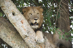 Male lion in tree Royalty Free Stock Images