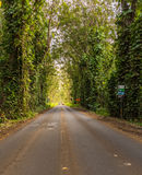 Famous Tree Tunnel of Eucalyptus trees Royalty Free Stock Photography