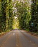 Famous Tree Tunnel of Eucalyptus trees. Famous mile long tunnel of Eucalyptus trees along Maluhia Road to Koloa Town, Kauai Hawaii Royalty Free Stock Photography