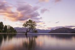 Wanaka tree. Famous tree at Wanaka lake in south island of New Zealand Royalty Free Stock Photo