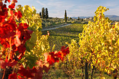 Famous Tuscany vineyards  in Italy Royalty Free Stock Images