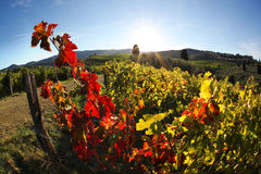 Famous Tuscany vineyards  in Italy Royalty Free Stock Photography