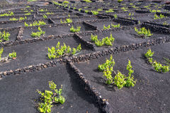 Famous vineyards of La Geria on volcanic soil in Lanzarote, Canary Islands, Spain Stock Photo