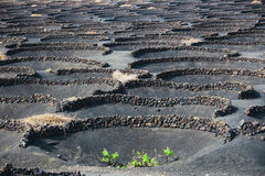 Famous vineyards of La Geria on volcanic soil, Lanzarote Royalty Free Stock Images