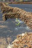 Famous vineyards of La Geria on volcanic soil, Lanzarote. Island, Spain stock photography