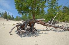 Famous walking trees in Sandy Bay on the coast of Lake Baikal. Royalty Free Stock Photo