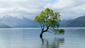 Lonely tree growing from the Wanaka lake, New Zealand royalty free stock image