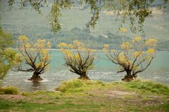 The Famous Willow Trees of Glenorchy royalty free stock photos