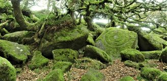 Wistmans wood in Devon - the druid`s stone? royalty free stock photos