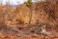 Famyli dei leoni Fotografie Stock