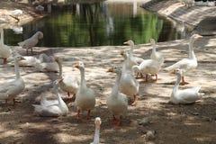 Fan bianco dell'anatra nello zoo di Karachi Immagini Stock Libere da Diritti