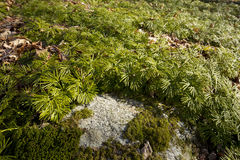 Fan clubmoss at Case Mountain in Manchester, Connecticut. Stock Images