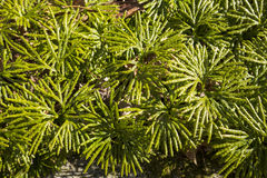 Fan clubmoss population at Case Mountain in Manchester, Connecticut. Close up of fan clubmoss, Lycopodium flabelliforme, in March at Case Mountain Park Royalty Free Stock Photo