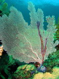 Fan Coral. In 20 ft of water off the south Florida coast Stock Photo
