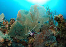 Fan coral. On an underwater ocean reef with sunlight in the background Royalty Free Stock Photo