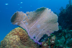Fan Coral Royalty Free Stock Images