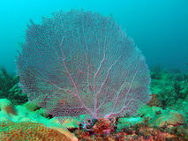 Fan Coral. This is fan coral taken at about 30 feet in Pompano beach, Florida Royalty Free Stock Images