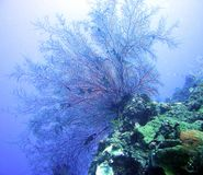 Fan coral. Delicate fan coral found on the wreck of the USS Liberty in Indonesia Royalty Free Stock Photo