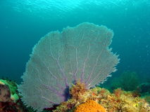 Fan Coral. Taken in Pompano Beach, Florida Royalty Free Stock Images