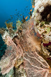 Fan coral and fish in the Red Sea. Royalty Free Stock Photography
